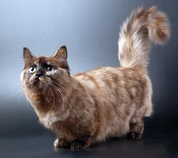 Порода кота наполеон
